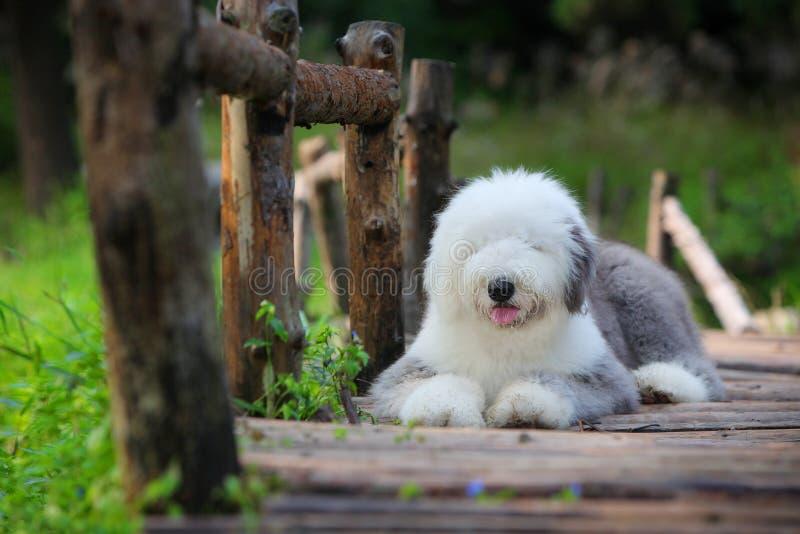 English old sheepdog royalty free stock photo