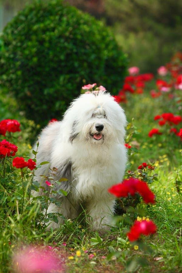 Free English Old Sheepdog Stock Images - 6753224