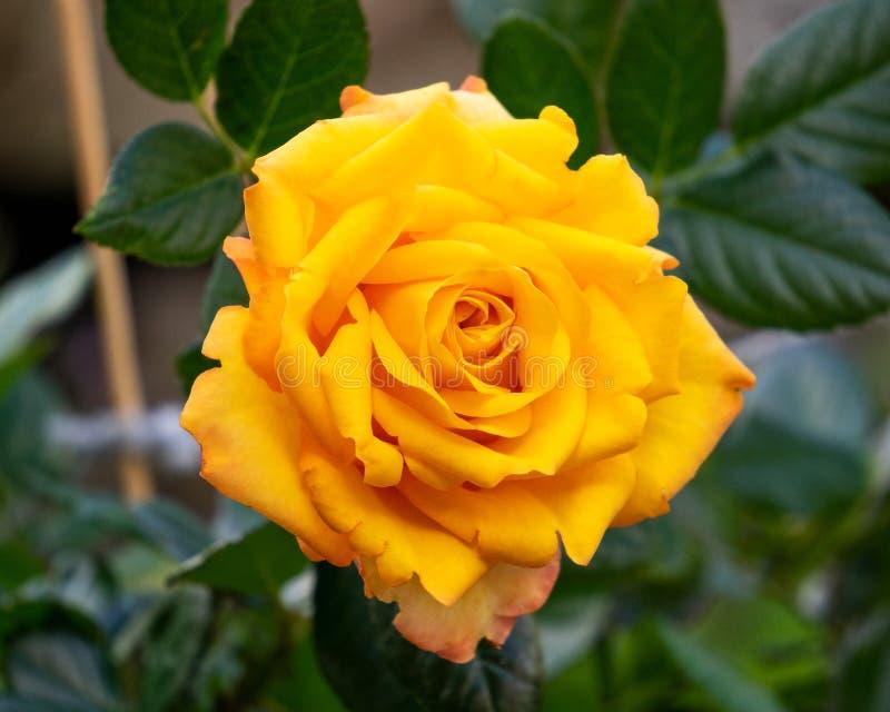 English orange yellow rose flowers in summer garden.  stock image
