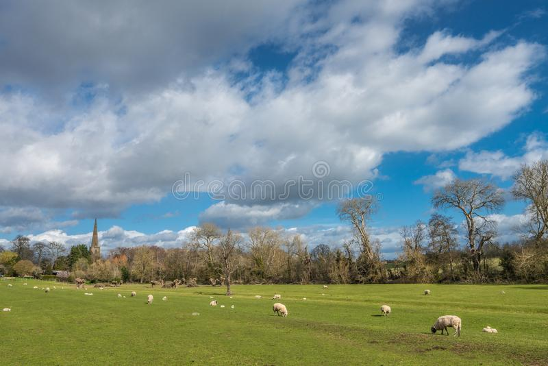 English Pastoral scene with grazing sheep and lambs royalty free stock photos