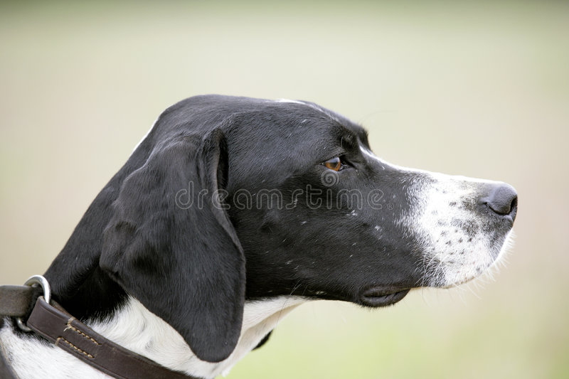 Download English Pointer Stock Photography - Image: 1979472