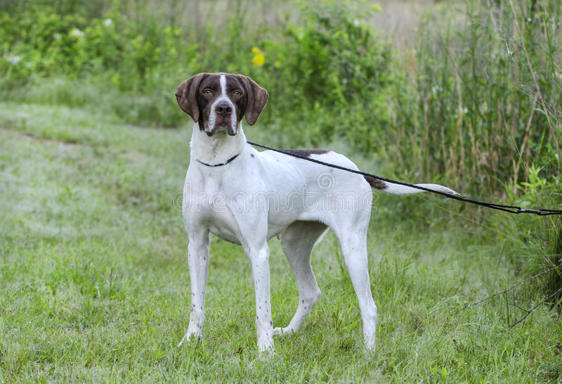 English Pointer bird dog. Female brown and white English Pointer gun dog. Walton County Animal Control Shelter photography, humane society, outdoor pet stock photography