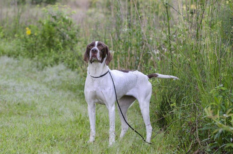 English Pointer bird dog stock image
