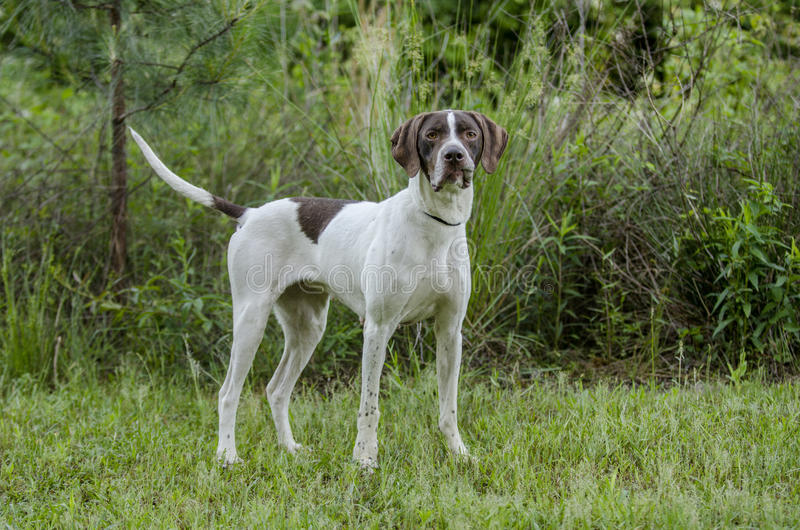 Download English Pointer bird dog stock photo. Image of cropped - 91669674