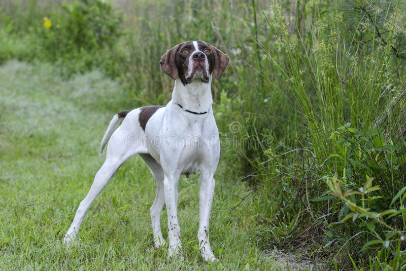 English Pointer bird dog. Female brown and white English Pointer bird dog. Walton County Animal Control Shelter photography, humane society, outdoor pet stock photos