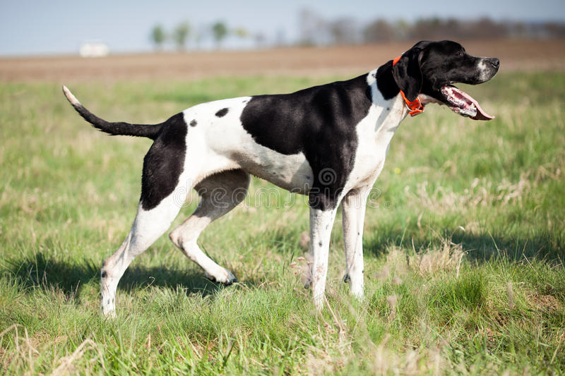English Pointer in hunt royalty free stock image