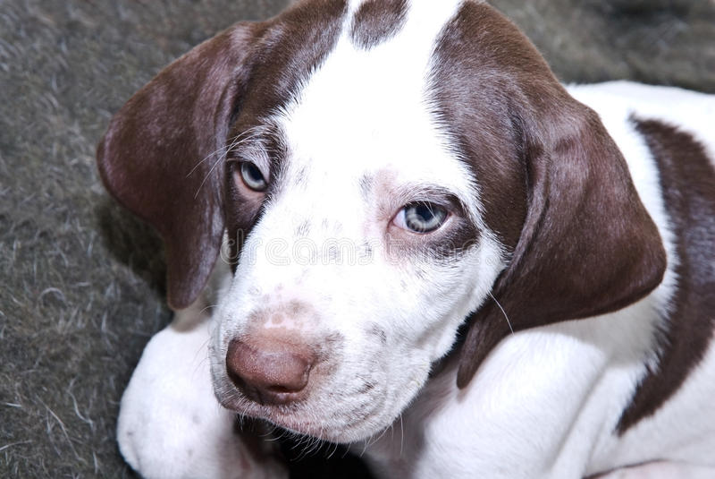 English Pointer Puppy royalty free stock photo