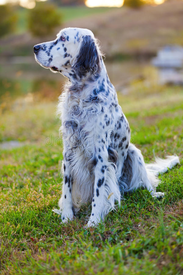 Download English Setter stock image. Image of groomed, english - 28300885