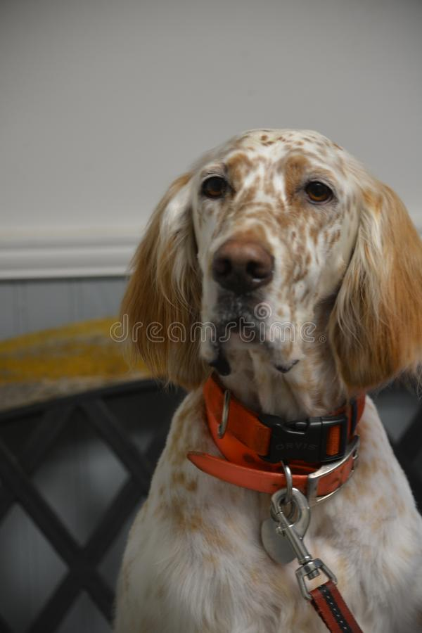 English Setter markings are always unique. English setter colors are white with black, blue, orange or liver spots royalty free stock photo
