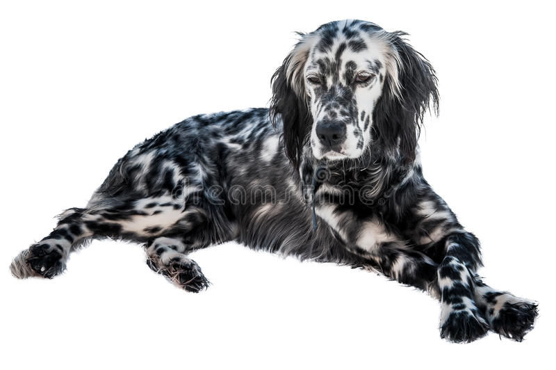 Download English setter dog stock photo. Image of spots, pedigree - 28610972