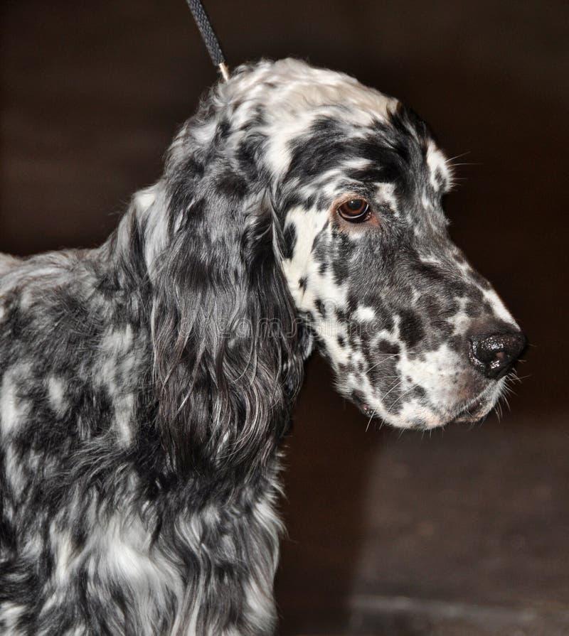 Download English Setter dog stock image. Image of head, coat, back - 39513303