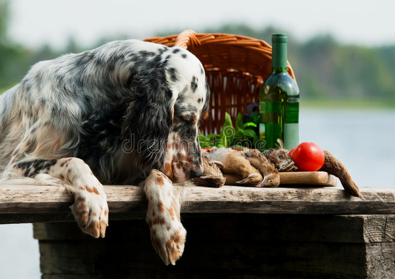 English setter with hunting birds stock image