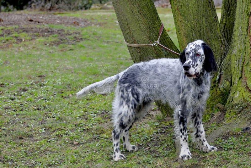 English setter. Hunting dog portrait on grass royalty free stock photo