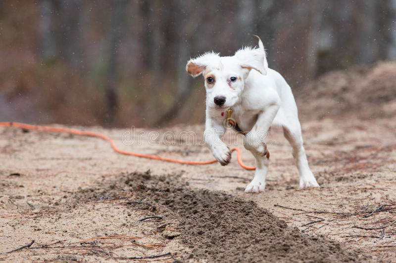 English setter puppy running royalty free stock image