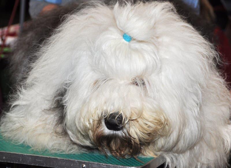 Download English Sheepdog stock photo. Image of mammal, alert - 39513208