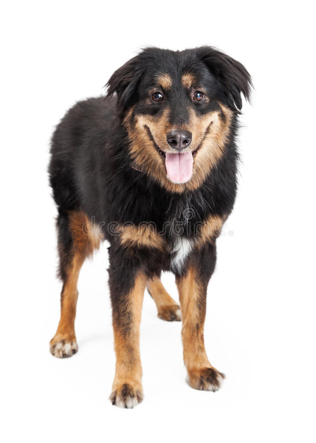 English Shepherd Mixed Breed Dog. A happy looking English Shepherd Mixed Breed Dog standing looking directly into the camera. Mouth is open royalty free stock images