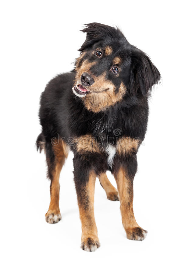 English Shepherd Mixed Breed Dog Standing. A curious and attentive English Shepherd Mixed Breed Dog standing stock images