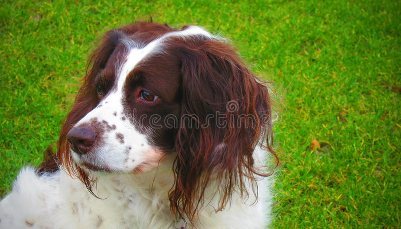 English Springer dog royalty free stock photo