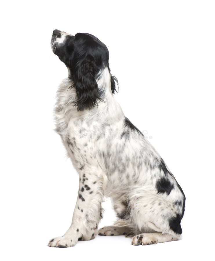 Free English Springer Spaniel (1 Year) Royalty Free Stock Image - 8195616