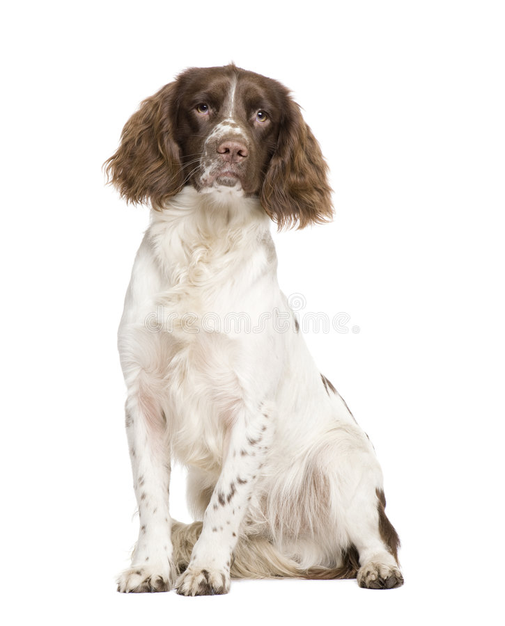 English Springer Spaniel (10 Months) Stock Image
