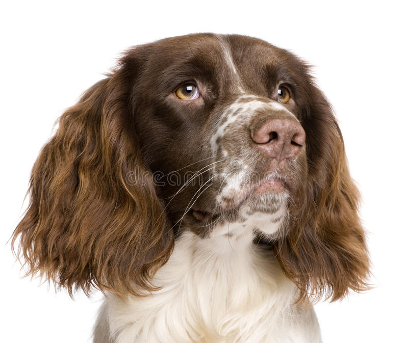 English Springer Spaniel, 10 months old. In front of a white background royalty free stock photos