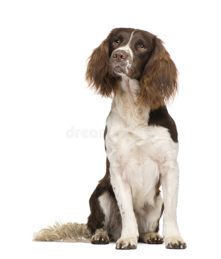 English Springer Spaniel (2 years). In front of a white background stock images