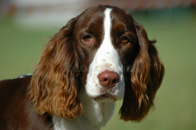 English Springer Spaniel. A beautiful English Springer Spaniel dog head portrait with cute expression in the face watching other dogs in the park stock images