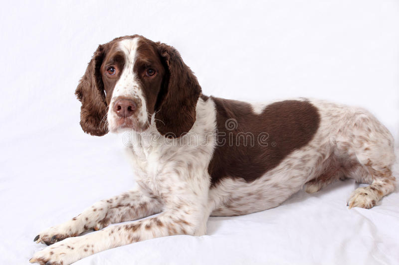 English Springer Spaniel. Portrait of a English Springer Spaniel stock photo