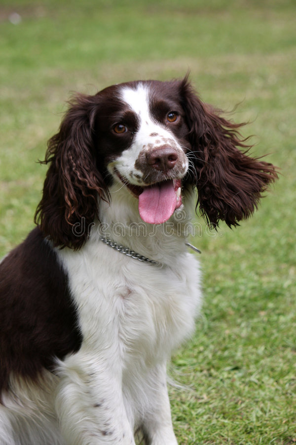 English Springer Spaniel. Portrait of a happy English Springer Spaniel stock images