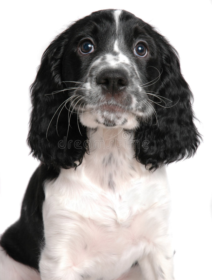 English springer Spaniel. Puppy isolated on white royalty free stock photography