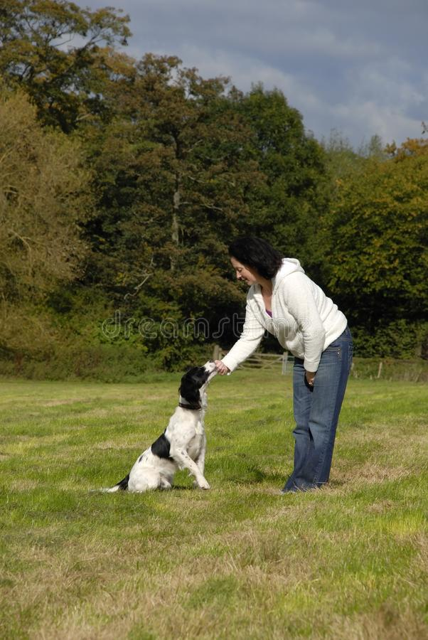 English Springer Spaniel Being Free Stock Photography