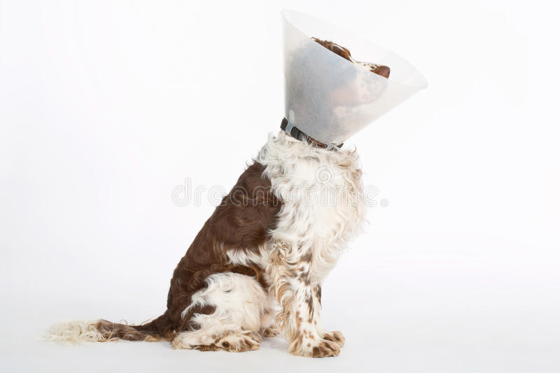 English Springer Spaniel with buster collar. On white background royalty free stock image