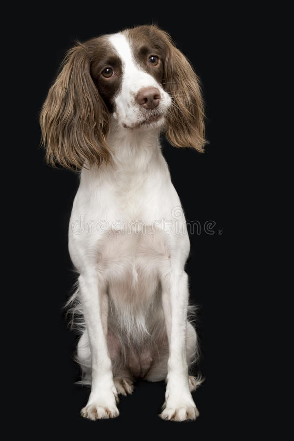 English Springer Spaniel. Closeup of English Springer Spaniel against black background royalty free stock photography