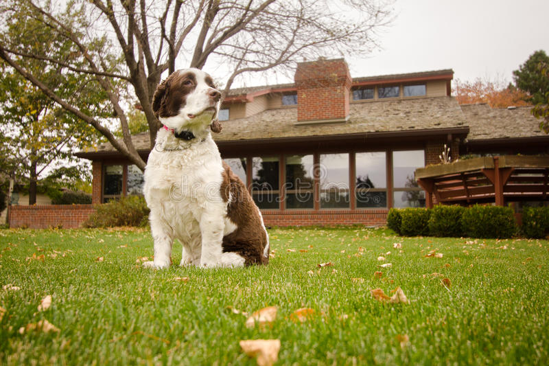 English Springer Spaniel Dog in the Backyard. An English Springer Spaniel in the backyard behind the house stock image