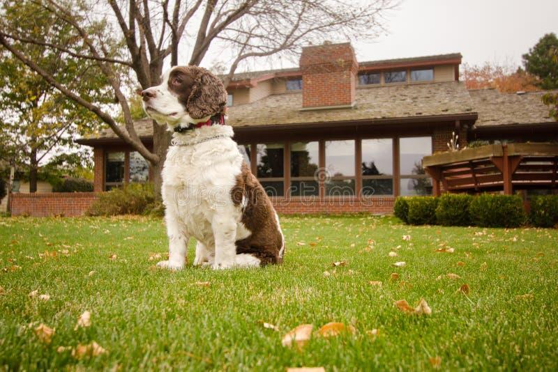 Download English Springer Spaniel Dog In The Backyard Stock Photo - Image: 92730202