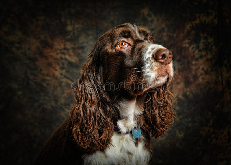English springer spaniel dog. Portrait of a pure breed english springer spaniel stock photos