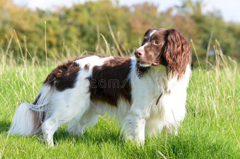 English springer spaniel dog standing in field. On sunny day stock photo