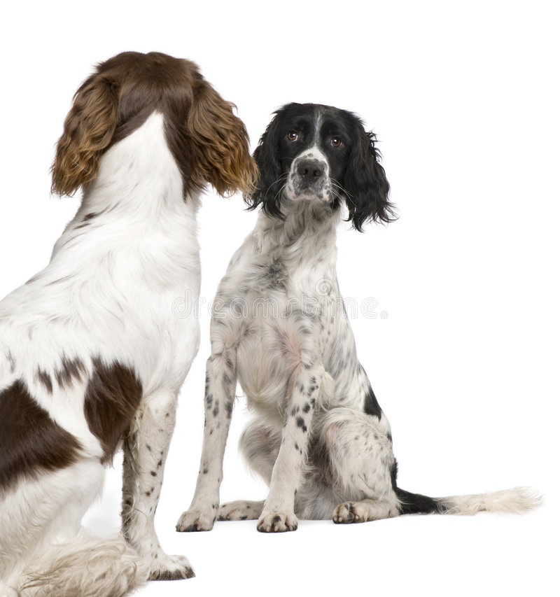 English Springer Spaniel face to face (1 year). English Springer Spaniel face to face in front of a white background stock images