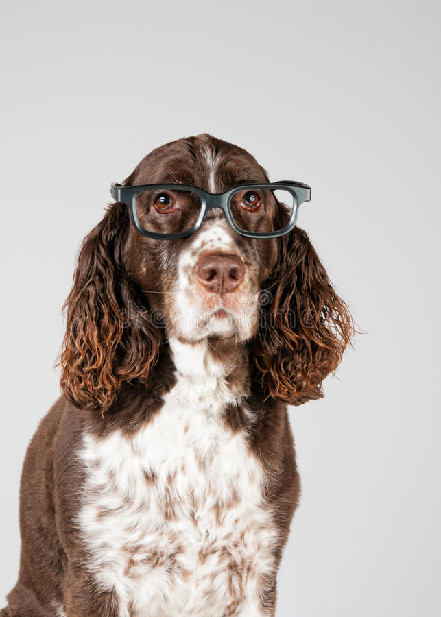 English springer spaniel in glasses. English springer spaniel dog wearing a pair of glasses, studio background stock photography