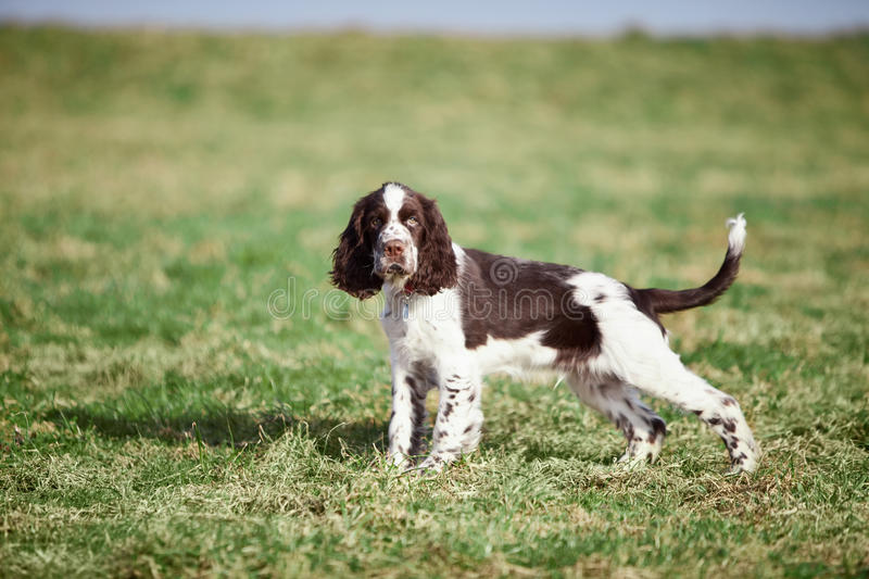 English Springer Spaniel. On grass stock photography