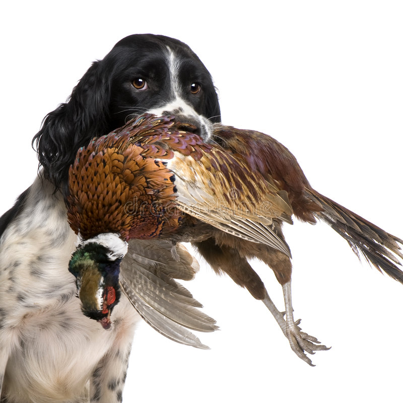 English Springer Spaniel hunting (1 year). In front of a white background royalty free stock photography