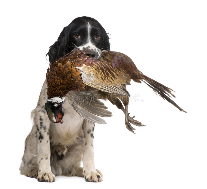 English Springer Spaniel hunting (1 year). In front of a white background stock image