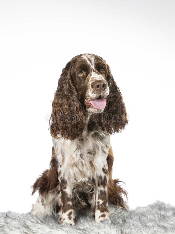 English Springer spaniel potrait taken in a studio. English Springer spaniel potrait taken in a studio with a white background stock images