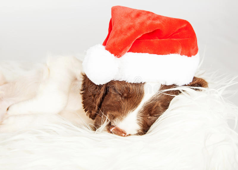 English Springer Spaniel Puppy Wearing Santa Hat While Sleeping royalty free stock images