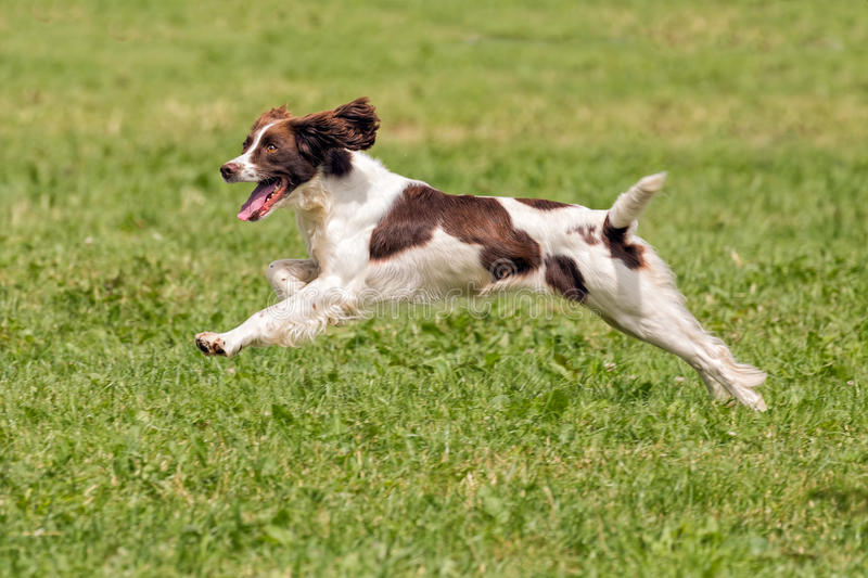 English Springer Spaniel Running, Hanbury Countryside Show, England. A handsome liver and white English Springer Spaniel running to retrieve a dummy during a stock photos