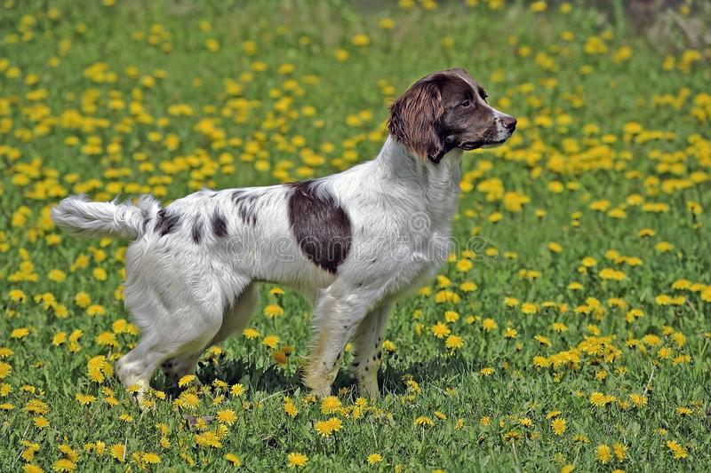 English Springer Spaniel standing in spring meadow of yellow flowers, watching, alert,. Beautiful English Springer Spaniel Dog standing  in spring meadow covered royalty free stock photo