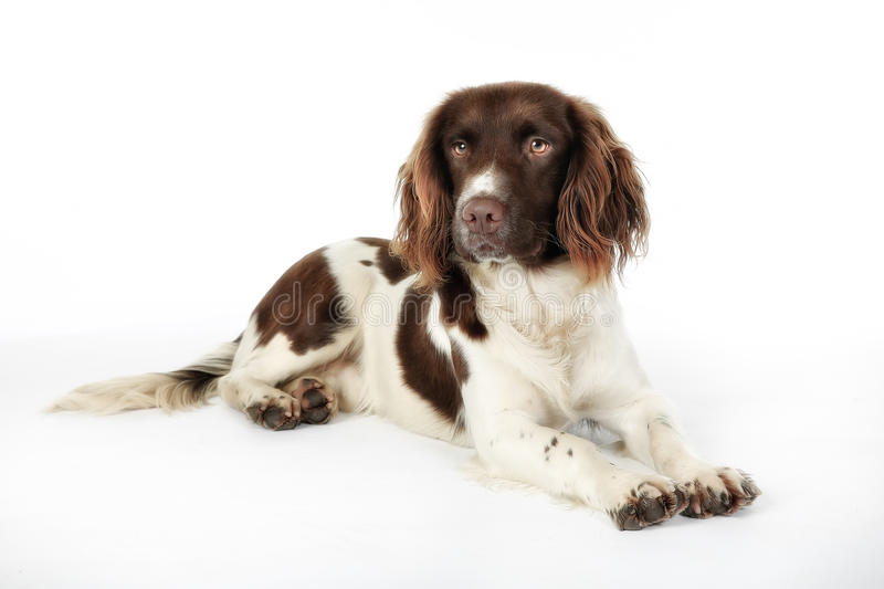 English Springer Spaniel. Studio shot of purebred english springer spaniel dog stock photography
