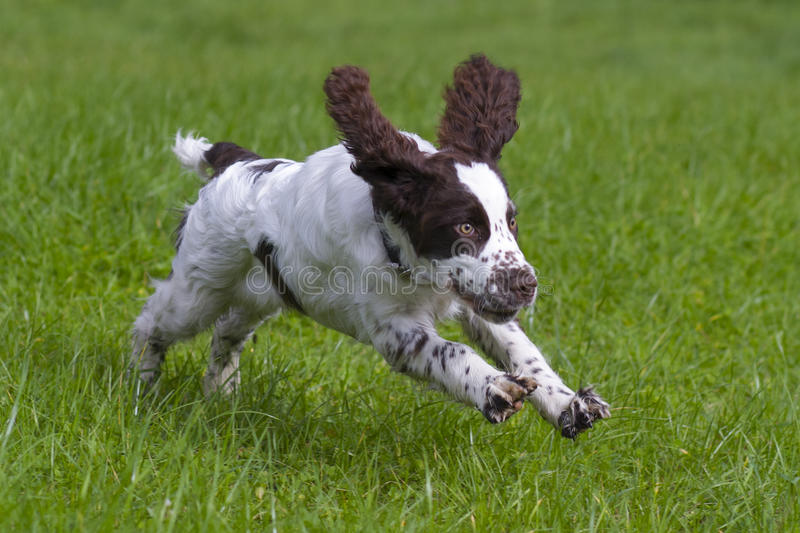 English springer spaniel. In summer royalty free stock photography