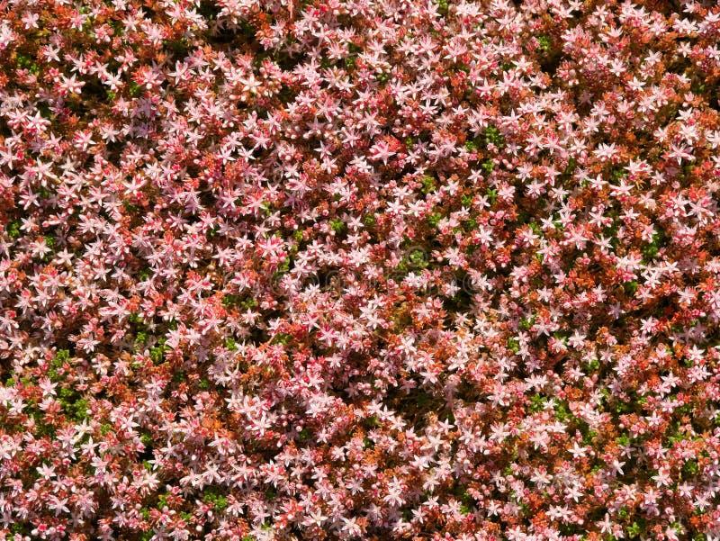 English stonecrop sedum anglicum flowers. On the Wales Coast Path on the Llyn Peninsula, Gwynedd, Wales, UK royalty free stock photography