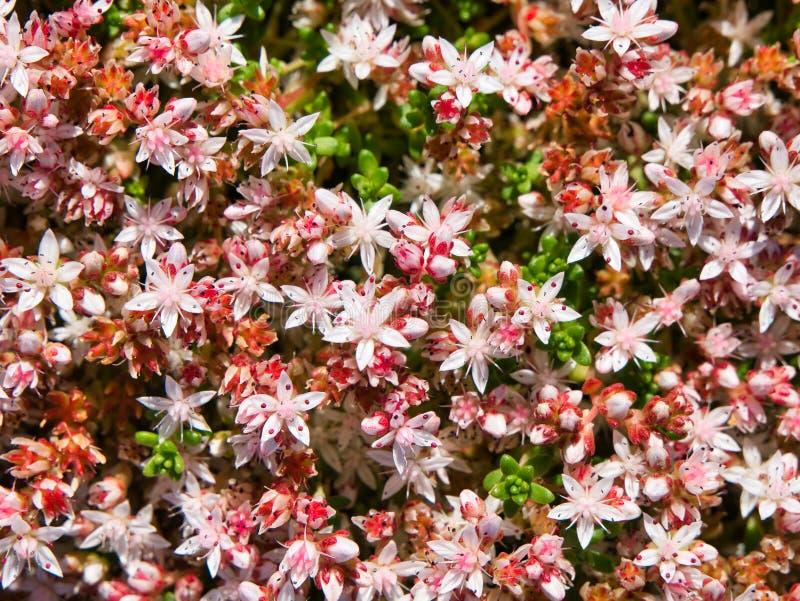 English stonecrop sedum anglicum flowers. On the Wales Coast Path on the Llyn Peninsula, Gwynedd, Wales, UK royalty free stock image